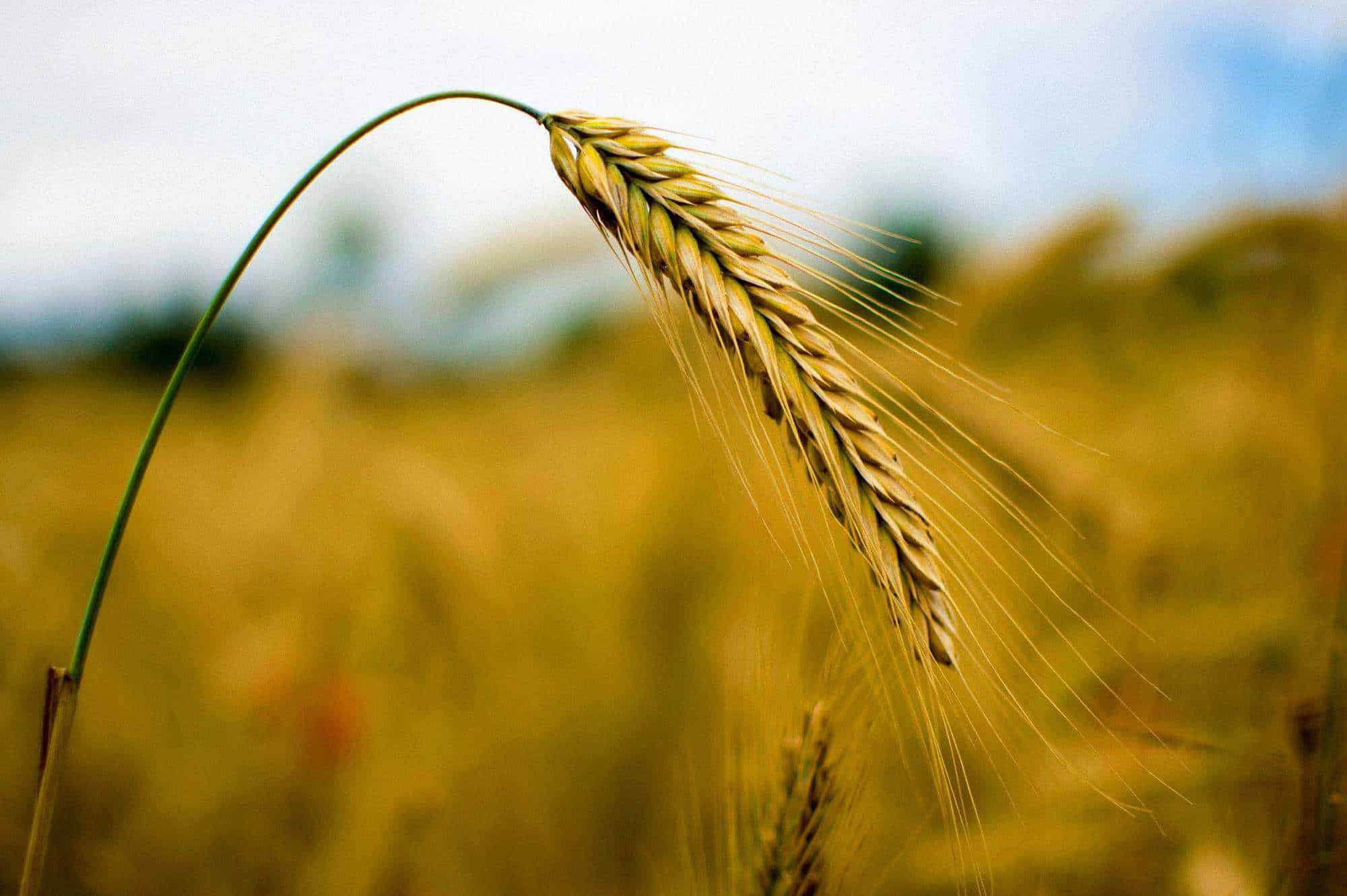 How Is Ethanol Made fermentation by crops
